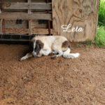 Bisera Deep Fork – Karakachan Livestock Guardian Dog