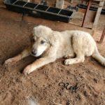 Mishka Deep Fork – Karakachan Livestock Guardian Dog