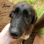 Violeta Deep Fork – Karakachan Livestock Guardian Dog